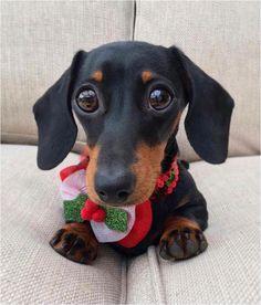 Dachshund – Friendly and Curious Dachshund Puppies, Weenie Dogs, Dachshund Love, Cute Puppies, Pet Dogs, Dog Cat, Pets, Daschund, Love My Dog