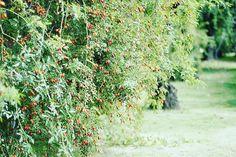 * *  秋のこのバラ園は 春の賑わいと全く違っていて、とても静かです。  こんなに素敵な光景が広がっているのに(*´ω`*) * *  #お出かけ#いつかのお出かけ#バラ園#信州#中野#中野一本木公園#秋#ローズヒップ#バラ巡り#花巡り#バラが好き#花が好き#花のある暮らし#花好きさんと繋がりたい