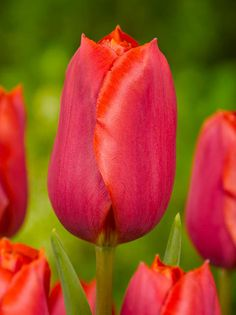 Sturdy and lightly-scented, Tulip 'Bastogne' is a tall tulip with a lovely goblet shape. - Front Bed
