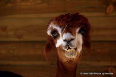 funny lama
