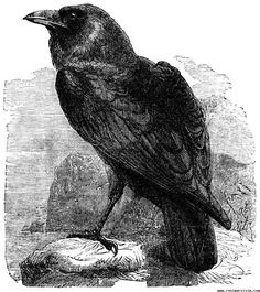 In Norse mythology the raven holds a special place. The god of the Æsir pantheon Odin is sometimes referred to as the Raven God. This is due to his association with the ravens Huginn and Muninn. These two birds fly around the world gathering information and relay it all to Odin.