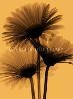 x ray flowers downloadable | Gerberas, X-ray - Stock Image B760/0536 - Science Photo Library