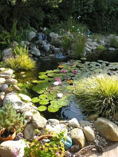 Great coverage of the pond with water lilies and contrasting narrow leaved edge plantings.