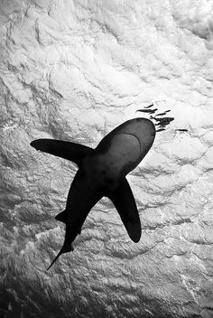 Oceanic whitetip shark. The person who took this picture had to have been underneath it.....