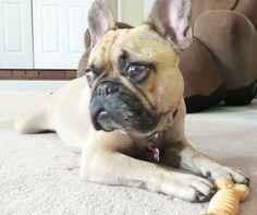 'Bone patrol', French Bulldog Puppy