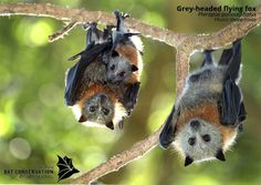 Awww, baby bat is hanging on to mommy bat More