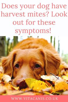 Harvest Mites on Dogs | Vita Canis | 100% natural pet products and advice for you & your dog - As Fall arrives, so do harvest mites in our dog's coats. The larvae of harvest mites cause seasonal skin challenges for dogs of all ages. Click through to find out what symptoms to look out for. | dog skin itchy | dog skin dry | dog skin care | dog skin allergies | dog skin remedies | dog grooming products | essential oils for dogs | natural dog | dog health #dogs #doghealth #dogproducts…