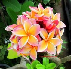 plumeria flowers - Yahoo! Image Search Results