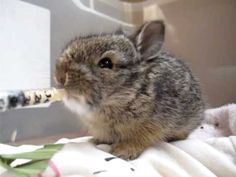 Mary Cummins, Animal Advocates. http://www.AnimalAdvocates.us http://www.facebook.com/AnimalAdvocatesUSA http://www.MaryCummins.com Baby bunny drinks formula