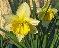 Nature, My Garden and Me: Plant Bulbs Now For Joyful Color in Winter!