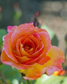 yellow, pink and orange rose by Mike Oberg
