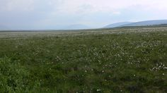 Dempster Highway -cotton plants Cotton Plant, Vineyard, Mountains, Nature, Plants, Travel, Outdoor, Outdoors, Naturaleza