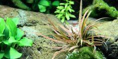 Cryptocoryne albida 'Brown' - Tropica Aquarium Plants