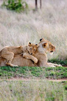 Lion mum and cub, Cute Baby Animals, Animals And Pets, Funny Animals, Beautiful Cats, Animals Beautiful, Big Cats, Cute Cats, Lioness And Cubs, Lion Love