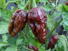 Trinidad Moruga Scorpion Chocolate Hot Pepper Live Plant