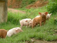 FARMHOUSE – ANIMALS – whoever knew that pigs could be this adorable.