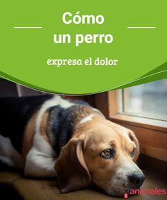 Cómo un perro expresa el dolor Aunque los canes no hablen nuestro idioma, podemos aprender a decodificar sus distintas maneras de comunicarse. Conoce cómo un perro expresa el dolor. #expresar #dolor #perro #salud