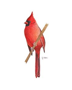 "***This print is currently for sale for 50% off*** This is a reproduction print of my original watercolor painting, ""Northern Cardinal."" This print is one of a series of watercolor paintings I am doin"