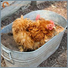 Galvanized planter or dust bath hot tub?
