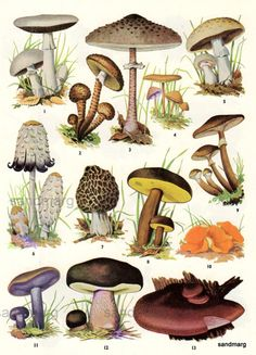 Chart of Edible Mushrooms-If the world is ever covered in darkness, the only plants that will grow without sunlight are mushrooms. Stick this in your survival guide! Edible Mushrooms, Wild Mushrooms, Stuffed Mushrooms, Growing Mushrooms, Mushroom Art, Mushroom Fungi, Mushroom Guide, Mushroom Hunting, Illustration Botanique