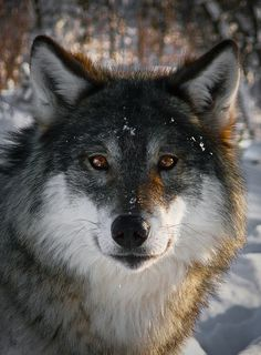 Eurasian wolf (Canis lupus lupus) is a subspecies of gray wolf which has the largest range among wolf subspecies and is the most common in Europe and Asia.