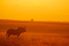 A Black Wildebeest captured at sunset. What a great composition and the red is just so intense. Really love it.