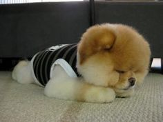 This dog looks just like a teddy bear... and it's sooo cute! :D