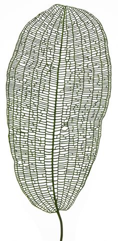 The Peculiar Lattice Pattern of Lace Plant Leaves | Adrian Dauphinee.