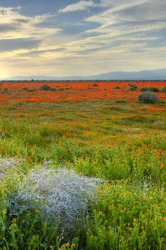 Lancaster Color - Antelope Valley Poppy Preserve
