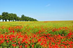 Field of Poppies and Colza