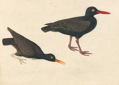 audubon black oyster catcher, giclee print in custom sizes also, framed in thin black wood frame with gold lip or unframed. made in usa by MUSEUM OUTLETS  #audubon  #blackoystercatcher  #framedprint  #wall art  #madeinusa