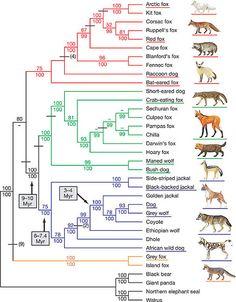 canidae family tree