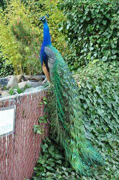 Peacock at Buddha Temple California