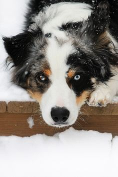 Australian Shepherd Blue Merle - First breed of dog I grew up with.