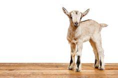 April 29, 2014 - His Name is Edgar - Nigerian Dwarf Goat Kid  2014©Barbara O'Brien Photography