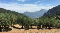 Coll de Sóller, Mallorca. 120 Centennial Olive Trees to sponsor. 210 years old, 415m altitude. Production 5 liters of Virgin Olive oil per Olive Tree.  Sponsor now your own Olive Tree in geoholder.com