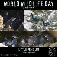 #worldwildlifeday  The little penguin is the smallest species of penguin in the world.  It grows to an average of 33 cm in height.  Found only in Australia and New Zealand.  Scientific name: Eudyptula minor.  They are also know as: Blue Penguin Fairy Penguin and Little Blue Penguin (NZ) or by their Maori name: kororā.  Predation by dogs cats foxes and disturbances by man have seen populations fall drastically. Conservationists successfully pioneered an experimental technique using Maremma…