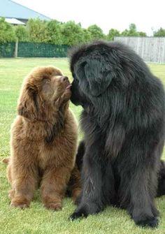 7 Largest Dog Breeds
