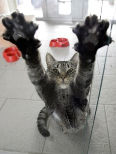 Cat Stretches on a Glass Door in the Animal Shelter in Berlin Photographic Print at AllPosters.com