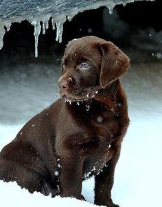 Labrador Retriever Choco  Absolutely beautiful!   God's handiwork in the Earth..  T Y Lord Jesus! ~ re-pinned by www.labradorretrieverchecks.com ~ labrador-themed stationery, checks, apparel, and gifts.