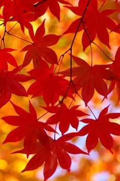 Red leaves of fall :)