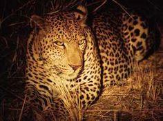 Leopard in the spotlight on a night drive on a Zambia safari. Enjoy a Zambia safari experience in South Luangwa, home of the walking safari. Kafunta Safaris operates Kafunta River Lodge and Island Bush Camp.