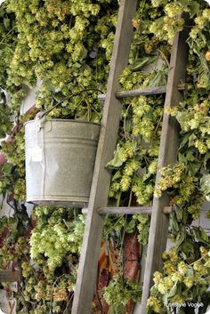 Dried hops for decor in beer garden. Hops Vine, Hops Plant, Stair Ladder, Outside Plants, Beer Wedding, British Wedding, Pubs And Restaurants, How To Make Beer, Beer Garden