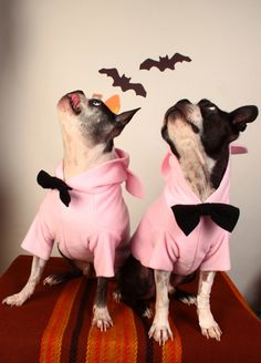 perfect Halloween costume for your boston terrier