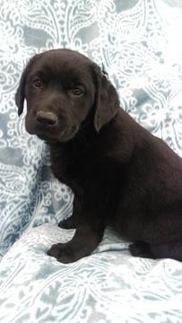 Labrador Retriever Puppy For Sale In Lancaster Pa Adn 71903 On