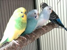 These are my beautiful budgies chillin' and relaxin'  L-R Scorpion, Aqua, Yoshi and NomNom