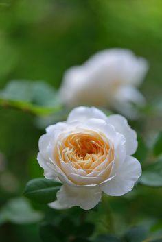 English Shrub Rose: Rosa 'Crocus Rose' (U.K., 2000)
