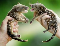 12-week-old spotted quolls. Rather than posing for a nice family photo, the naughty siblings seemed more eager to land a paw on one another. Despite their small stature the carnivores, who are a lesser known cousin of the Tasmanian Devil, are aggressive by nature and are inclined to attack whatever crosses their path - even if that is a sibling. Quoll numbers in Australia had dwindled due to habitat destruction, poisoning and foxes and cats attacking and spreading diseases. Picture: Jay Town