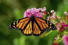 Plant a Butterfly Attraction Milkweed Mix 20 by CheapSeeds on Etsy, $2.75