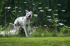 Doris the Great Dane Dory, Boston Terrier, Pitbulls, Animals, Boston Terriers, Animales, Pit Bulls, Animaux, Pitbull